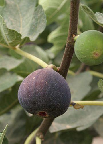 פרי התאנה פרי גן העדן
